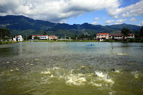 四川省华蓥市积极发展特色水产生态养殖业。目前,特色水产品实现放养面积近2000亩,特色水产品年均产量达300吨,产值2000多万元。  邱海鹰 摄.jpg