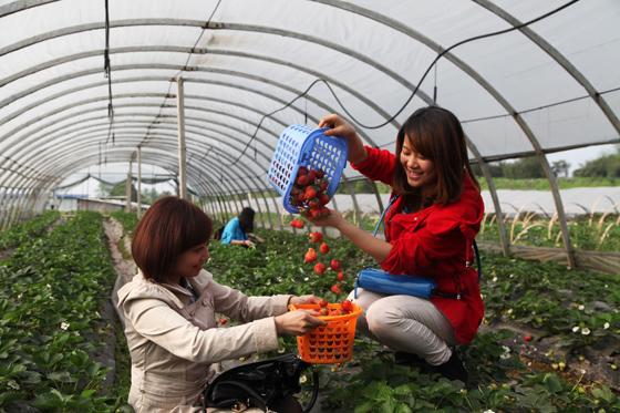 四川省泸州市龙马潭区特兴镇走马新村的冬草莓红了,吸引大批顾客地里采摘抢鲜。  刘传福 摄.jpg