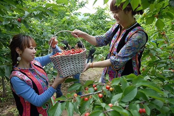 九寨沟县充分利用当地气候、土壤等优势,大力发展优质甜樱桃种植,甜樱桃已成为九寨农民朋友增收致富的又一亮点。方瑞玺、许萃摄.JPG